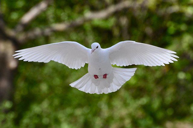 biały gołąbek jako weselna atrakcja